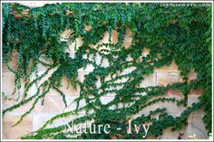 21 new Ivy textures in nature category (39 photos)