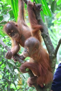 Gokong and Siboy playing in a tree! Help build a Baby House.  https://www.indiegogo.com/projects/sumatran-orangutan-baby-house#pledges