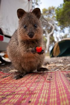 The quokka is a mammal about the size of a cat, native to Australia. The quokka is a marsupial of the macropod family, and is similar in appearance to a small type of Wallaby. Happy Animals, Nature Animals, Funny Animals, Cute Animals, Beautiful Creatures, Animals Beautiful, Quokka, Unusual Animals, Australian Animals