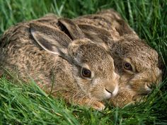 Rabbit   Marians Hunting Stories, etc., etc., etc.,: Tips on Hunting Rabbits