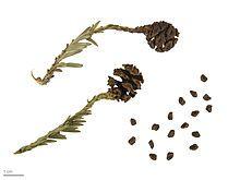 Sequoia sempervirens - Wikipedia