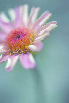 ~~In the morning | Zinnia by Manabu Oda~~