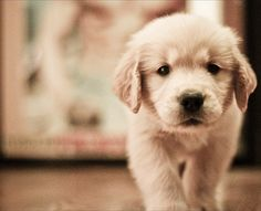 Golden Retriever puppy---Would love to have one again my favorite :) Best Dog Breeds, Best Dogs, Cute Puppies, Dogs And Puppies, Doggies, Dogs 101, Golden Puppy, Golden Labrador, Mans Best Friend