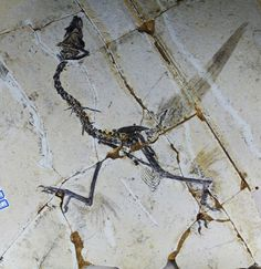 Instead of two wings, the first birds might have used four feathered limbs to stay aloft, according to research published today in Science. Read more  http://www.nature.com/news/early-birds-flew-on-four-wings-1.12613