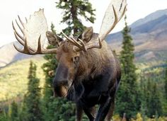 Alaska Moose Head | As of 2010 a legal bull moose must meet at least one of two ...
