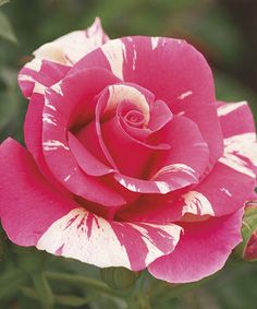 Look what I found on #zulily! Candy Land Climbing Rose Plant by Weeks Roses #zulilyfinds