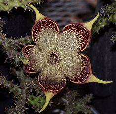 Stapelia flower / Via Lejardindeclaire