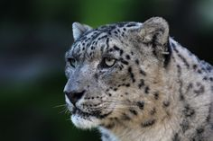 Snow leopard (Panthera uncia) by Jean-Claude Sch. on 500px