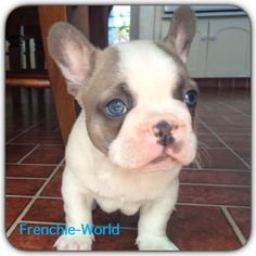 Blue Eye Frenchie-french bulldog Blue and tan producer Rare color eyes rare color frenchie Love his eyes rare color french bulldog