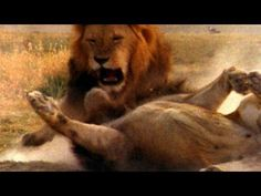 World's Deadliest - Lion vs. Lion