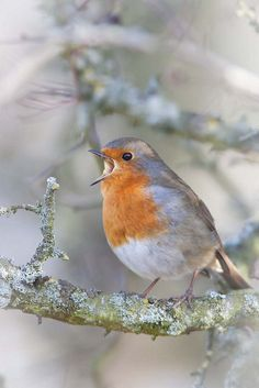 European Robin (Erithacus rubecula) I wish we had these adorable little birds in the US Kinds Of Birds, All Birds, Little Birds, Love Birds, Pretty Birds, Beautiful Birds, Animals Beautiful, Robin Bird, Colorful Birds
