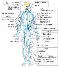 Nervous system diagram-it - Sistema nervoso periferico - Wikipedia Nervous System Diagram, Human Nervous System, Peripheral Nervous System, Central Nervous System, Nerf Spinal, Spinal Cord Anatomy, The Human Body, C G Jung, Human Body