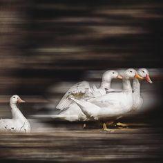 """Ducks in'motion""  #bird #duck #water #wildlife #waterfowl #lake #feather #poultry #animal #reflection #beak #nature #pool #swimming #goose #wild #winter #pato #lago #natureza #valongo #caminhoecologico #nunomatosfotografia #nunomatos"