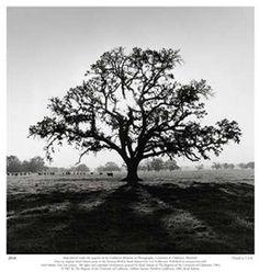 Ansel Adams - Oak Tree, Sunrise