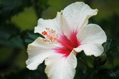 Hibiscus Flower White Color | Flower Meanings, Pictures and Photos