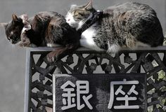 Japan is celebrating its 27th annual Cat Day today, also known as Nyan Nyan Nyan day - The Washington Post