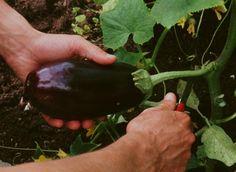Récolter l'aubergine - A. Potager Garden, Plantation, Vegetable Garden, Eggplant, Vegetables, Green, Flowers, Gardening, Jars