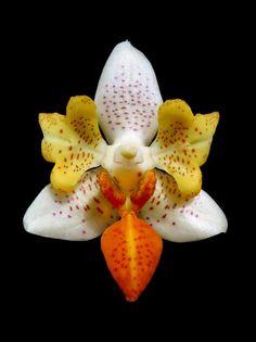 Pp Phalaenopsis mini mark pelorica