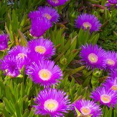 NATIVE PIGFACE - Garden Express Garden Express, Australian Plants, Sandy Soil, Pink Daisy, Bright Pink, Nativity, Handmade Wooden, Fence, Green