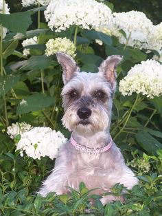 "OMG this mini Schnauzer is so adorable ""Corky enjoying the gardens""✨✨"