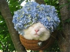 "Shironeko (かご猫, literally ""White Cat""), a Turkish van cat, with hydrangea. He is sometimes referred to as Basket Cat. (Shironeko has his own blog posted by his anonymous owner)"