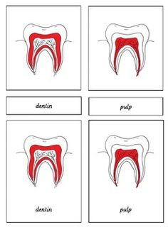 Parts of the Tooth 3 Part Cards