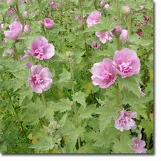 Alcalthaea suffrutescens 'Park Rondell' (Bastardmalve, Mischung aus Malve und Stockrose)
