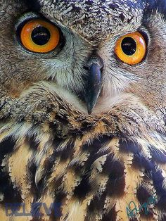 Eurasian Eagle Owl - V by ~JustBlieve on deviantART (photography,owl,bird,eagle owl)