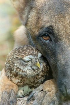 Unlikely friends, an owl and a dog. Professional animal photographer and collage artist Tanja Brandt. Animals And Pets, Baby Animals, Funny Animals, Cute Animals, Baby Owls, Beautiful Creatures, Animals Beautiful, I Love Dogs, Cute Dogs