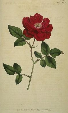 botanical print red rose