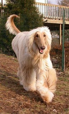 Afghan Hound :) my fave as a kid...mom said no way due to grooming nightmares...lol