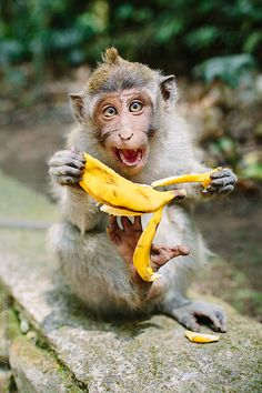 Monkey and banana in the Ubud Monkey Forest, Bali. Cameron Zegers for Stocksy United. Primates, Mammals, Animals And Pets, Baby Animals, Funny Animals, Cute Animals, Monkeys Animals, Funny Monkeys, Beautiful Creatures