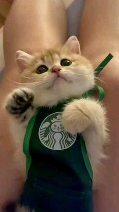 cute cat #starbucks #cute #kitten #pinterest #playingkitten