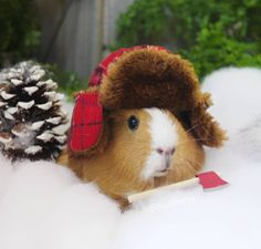 My family has 4 Guinea pigs, we had 5 but mine was old and passed :( this one looks a lot like ours!!