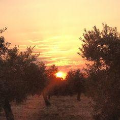 Puesta de sol en el olivar. Sunset in the olive fields.