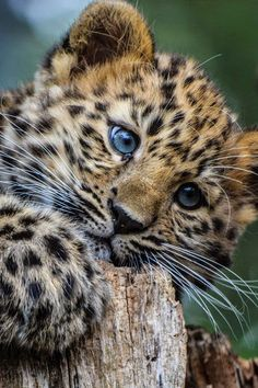 Leopard cub by Sarah