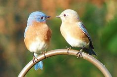 Attracting Bluebirds: Tips and FAQ:  It's easy to see why so many people are interesting in attracting bluebirds to their yard. We've got seven easy tips and answers to your questions.  birdsandblooms.com