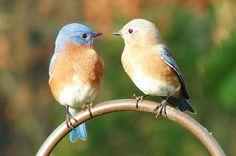 Attracting Bluebirds