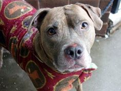 TO BE DESTROYED 12/23/13 Manhattan Center CLYDE A0987418 Neutered male br brindle & white pit mix 5 YRS 12/14/13  owner surrender reason stated was OWNER DIED. It's obvious that Clyde was a much loved family member. Friendly, & seems to like other dogs. A spry walk, shows no signs of slowing down. If you are looking for a gentle, calm companion, who is over the puppy stuff and is simply content to be by your side, Clyde is the boy for you. He's a gentle mush of a boy in need of a BFF.