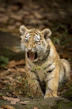 Tiger #PatrickBorgenMD