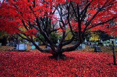 Falling Leaves, Walking through Mt. Auburn Cemetery, Boston.(