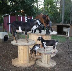 Toys for the goats - Homesteading Today Goats love to climb. I heard one guy put roofing tar paper on the top of the spools to help the goats hoofs