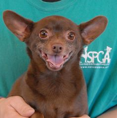 Benji is sparkling with joy, perhaps anticipating the amazing and loving home that will soon come his way!  He is a well-behaved, cheerful Chihuahua with chocolate coloring, about 4 years of age, neutered boy, debuting for adoption this afternoon at Nevada SPCA (www.nevadaspca.org).  Benji is great with dogs and reportedly housetrained and compatible with cats and mature kids.  He needed us because of his previous owners' separation.