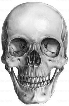 """Saatchi Art is pleased to offer the drawing, """"Skull, Anterior view,"""" by Marc Gosselin. Original Drawing: Graphite on N/A. Skull Face, Human Skull, Skull Head, Anatomy Drawing, Anatomy Art, Skull Reference, Reference Images, Skeleton Drawings, Skeleton Art"""