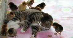 Niu Niu, chinese female cat has adopted 30 orphan chicks; (Reproduction / Orange News).
