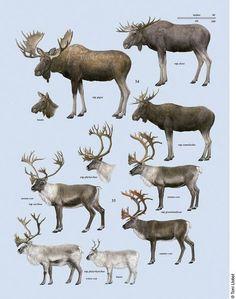 Handbook of the Mammals of the World, Animals Of The World, Animals And Pets, Funny Animals, Cute Animals, Strange Animals, Deer Family, Animal Posters, Fauna, Wildlife Art