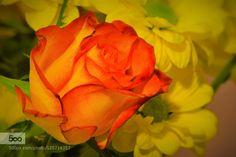"Rose ""memory"" - Pinned by Mak Khalaf Nature  by monorigabor60"