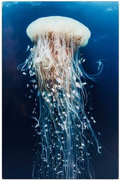 Color Photography – Fine art print – blue jellyfish with long tails underwater. Color Photography – Fine art print – blue jellyfish with long tails underwater. Underwater Creatures, Underwater Life, Ocean Creatures, Underwater Animals, Under The Water, Under The Sea, Beautiful Creatures, Animals Beautiful, Blue Jellyfish