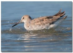 https://flic.kr/p/23sm1d4 | Willet | It's time for a swim :-)
