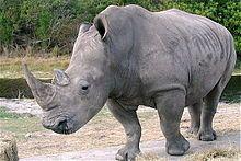 """Rhinocerotidae. La palabra """"rinoceronte"""" (ρινόκερος) proviene de los términos griegos rhino (nariz) y kera (cuerno), y significa literalmente """"nariz cornuda"""" y alude a los característicos cuernos en el hocico, que son además un valorado trofeo y la razón principal de su caza. A diferencia de los cuernos de otras especies, como los antílopes, los de los rinocerontes no tienen un núcleo óseo."""